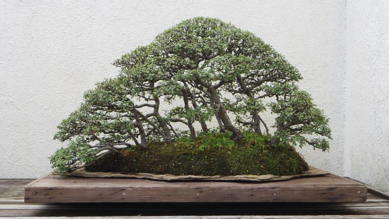 How To Grow Your First Bonsai Tree?